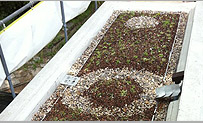 A green roof just starting to green